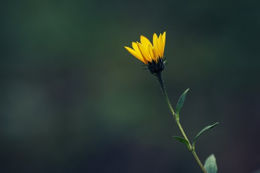 Sunroot, Flower, Yellow, Blossom, Flora, Plant