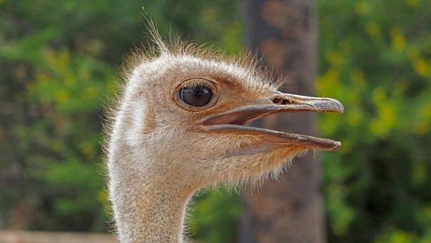 Bouquet, Flightless Bird, Big Bird, South Africa