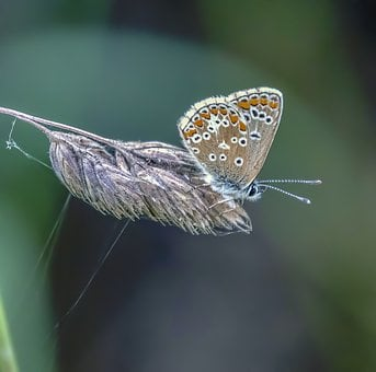 Butterfly, Brown-argus, Nature, Sensitive, Insect