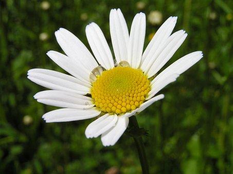 Marguerite, Daisy, Close Up, Flower, Flora, Wet, Meadow