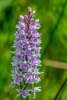 Orchid, Common Spotted, Color, Purple, Spotted, Flower