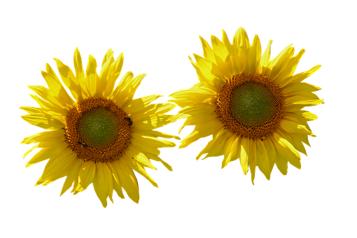 Sunflower, Isolated, Cut Out, Nature, Flower, Flowers