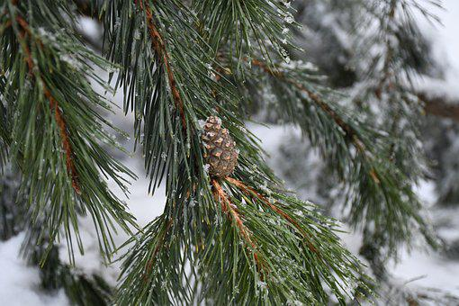 Cone, Nature, Evergreen, Snow