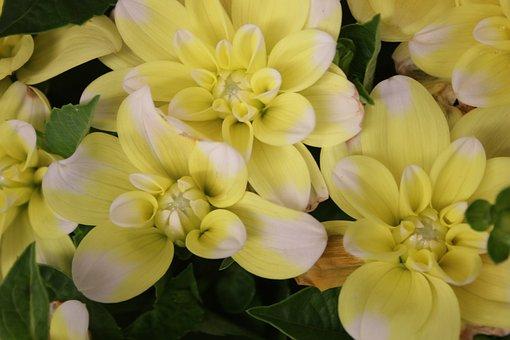 Dahlia, Yellow Flower, British Flowers, Flower, Yellow
