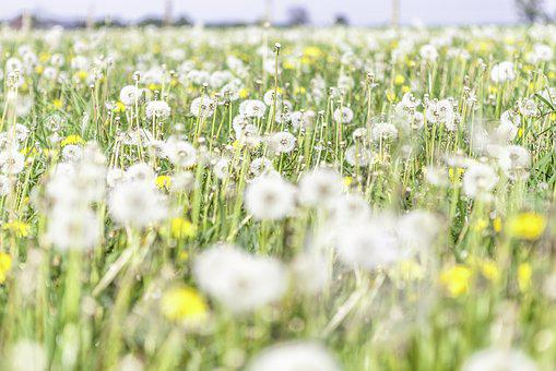 Dandelion, Flowers, Yellow, Green, Light, Delicate