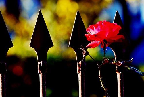 Rosa, Rose Bush, Plant, Garden, Flower, Flowers, Red