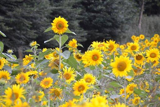 Sunflower, Sunflower Field, Summer, Yellow, Flowers
