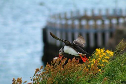 Puffin, Island, Bird, Flight, Point, Coast, Sea, Color