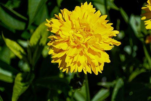 Mädchenauge, Yellow, Flower, Nature, Flower Garden