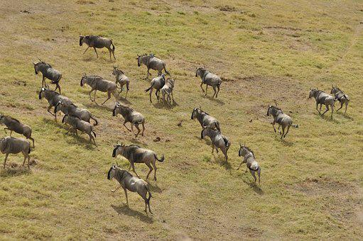 Wildebeest Migration, Kenya, Masai Mara, Wildlife