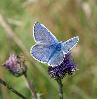 Butterfly, Common-blue, Insect, Nature, Summer, Meadow