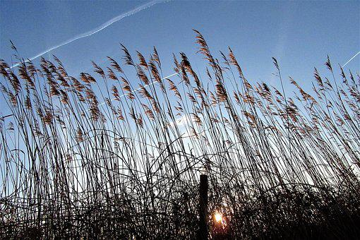 Reed, Sunrise, Wind, Nature, Air, Atmosphere, Vote