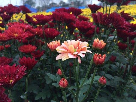Daisy, Spring, Flowers, Nature, Garden, Blossom, Plant