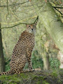 Cheetah, Wild, Nature, Safari, Predator, Animal World
