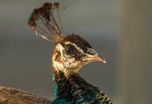 Peacock, Head Of A Peacock, Tufts, Beak, Profile, Bird