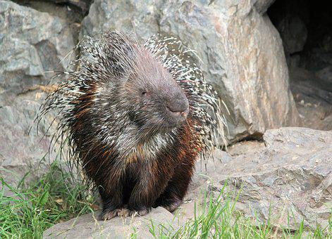 Porcupine, Quills, Spines, Animal, Rodent, Mammal