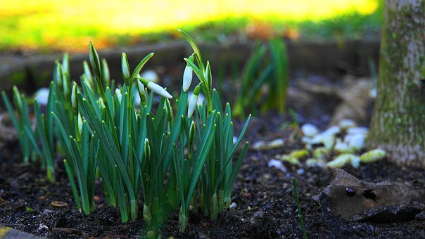 Snowdrop, Early Bloomer, White, Signs Of Spring, Spring