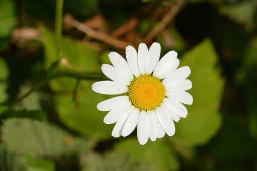 Marguerite, Plant, Flower, Spring, Nature, Garden