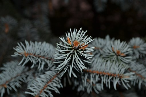 Spruce, Needles, Tree, Branch, Green, Nature