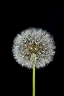The Dandelion, Dandelion, Nature, Summer, Flower