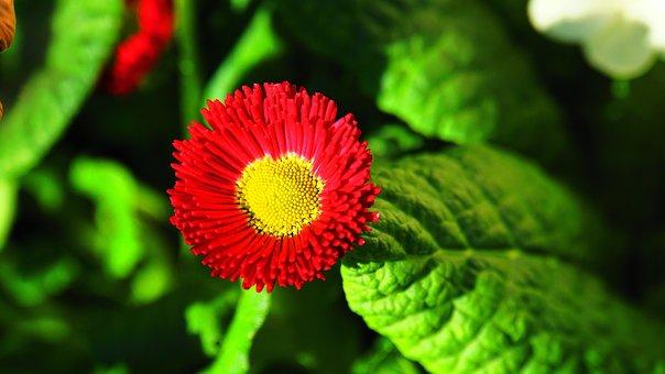 Tausendschön, Blossom, Bloom, Red, Yellow, Green