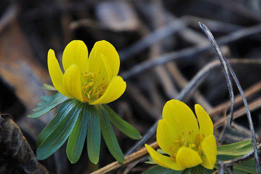 Early Spring, The Delicacy, Yellow, Blooming