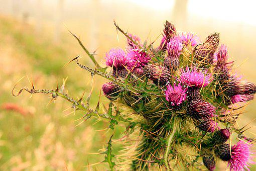 Thistle, Scotland, Flower, Purple, Nature, Scottish