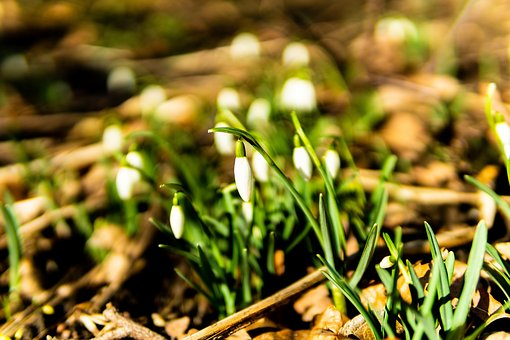 Snowdrop, Spring, Flower, Bloom, Nature, Plant, White