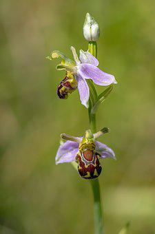 Bee Orchid, Wildflower, Flora, Plant, Ophrys, Botany