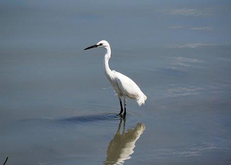 Wild, Bird, Wildlife, Water, Reflection, Egret, Adult