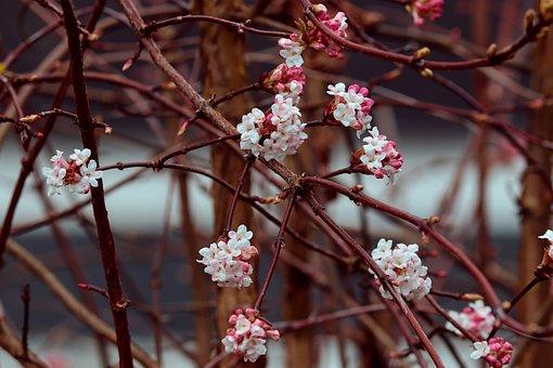 Winter Snow Ball, Viburnum, Fragrant Snowball