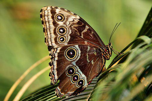 Owl Butterfly, Butterfly, Insect, Animal, Wing