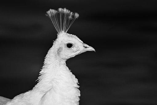 Peacock, Bird, Female, Animal, Crest, Head, Beak, Eye