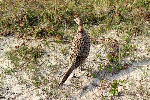 Pheasant, Wild Chicken, Chicken, Dune, Bird, Plumage