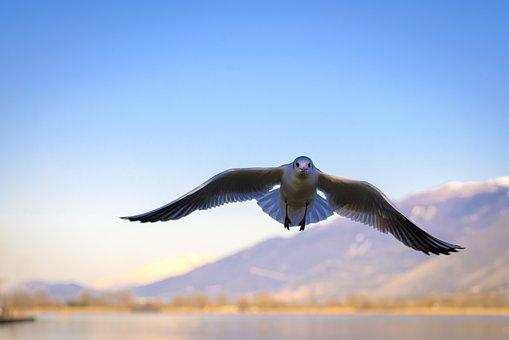 Seagull, Bird, I'm Flying, Animal, Nature, Wings