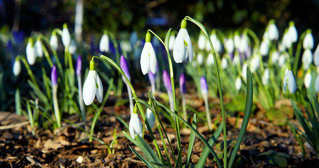 Snowdrop, Early Bloomer, White, Signs Of Spring, Bloom