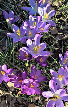 Crocus, Spring Flowers, Purple Flowers, Blossomed