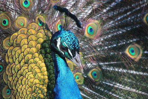 Peacock, Animal, Bird, Feather, Colorful, Blue, Color
