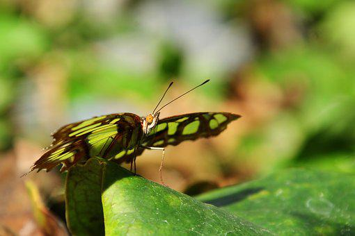 Malachite Butterfly, Butterfly, Insect, Wing, Nature