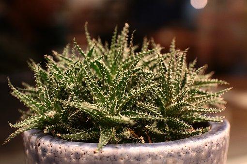 Cactus, Plant, Green, Natural, Succulents, Garden