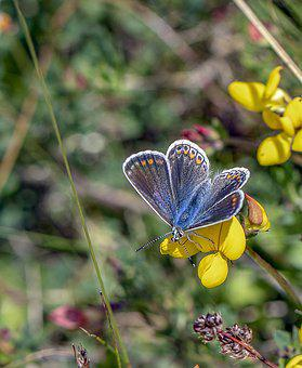 Butterfly, Common Blue, Insect, Nature, Summer, Meadow