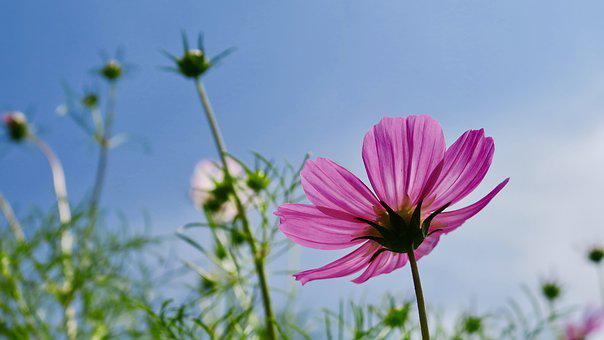 Cosmos, Flower, Cosmos Pink, Plant, Beauty, Purple