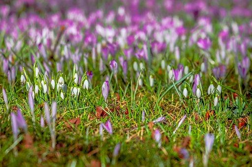 Crocus, Snowdrop, Spring, Flowers, Bloom, Meadow