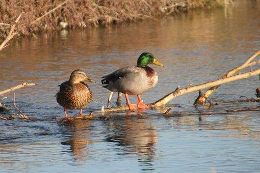 Ducks, Male, Female, Water, Channel, Branch, Beak, Pen