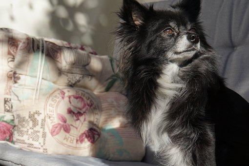 Chihuahua, Dog, Small, Cute, Sunbeam, Enjoy, Spring