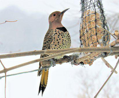 Flicker Woodpecker, Woodpecker, Eating, Feeder