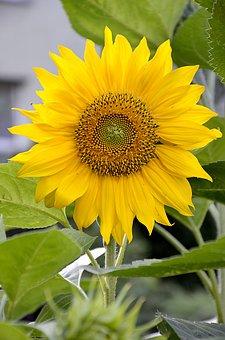 Sunflower, Flower, Garden, Orange, Yellow, Green