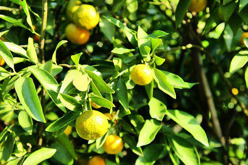 Tangerines, Tree, Fruit, Citrus Fruits, Healthy, Food