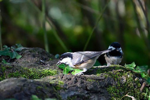 Coal Tit, Garden Bird, Bird, Nature, Uk, Wildlife