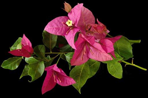 Flower, Bouganvillea, Tropical, Garden, Nature